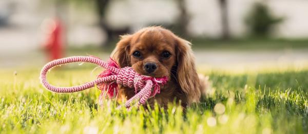 Puppy in grass holding its lead in its mouth