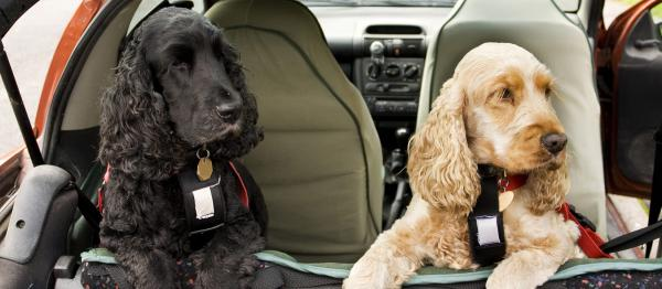 Two dogs in car restraints